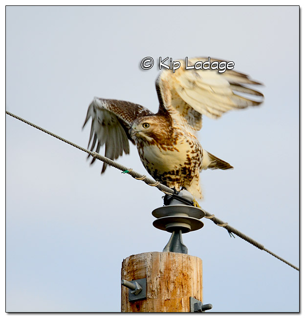Juvenile Red-tailed Hawk on Power Pole - Image 338922