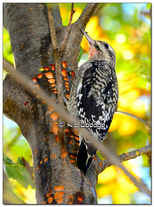 Juvenile Male Yellow-bellied Sapsucker - Image 340872