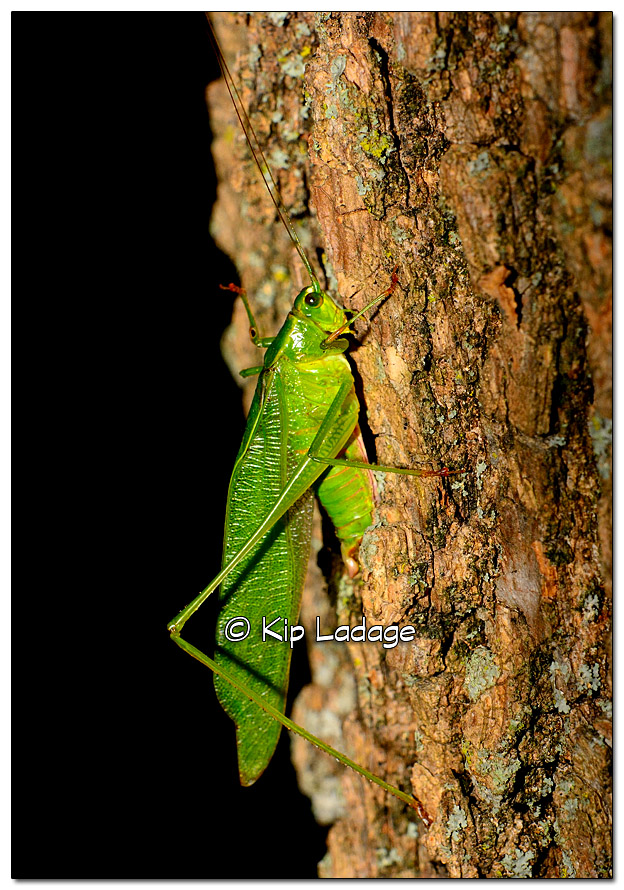 Katydid on Tree - Image 338448