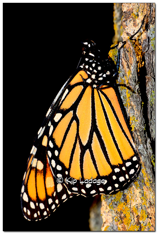 Monarch Butterfly - Image 338334