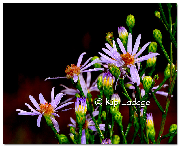 New England Aster at Rowley Fen - Image 337200