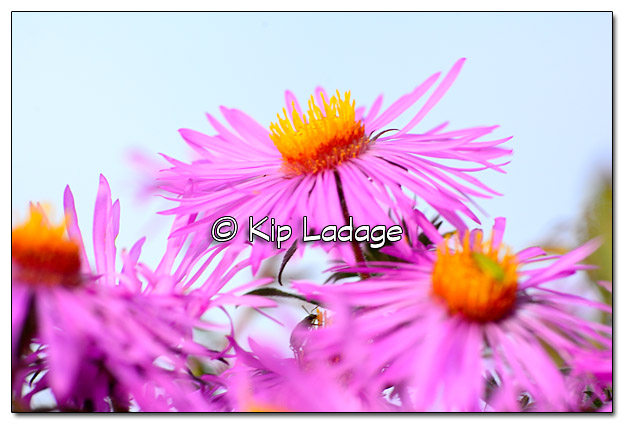 New England Aster - Image 339443