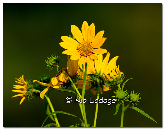 Sunflower Family - Image 336596