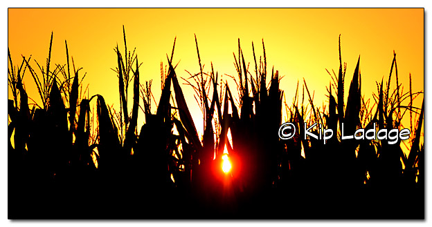 Sunrise Through Cornfield - Image 338343