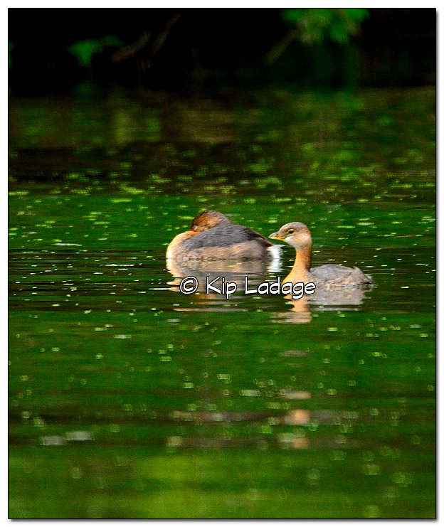 Two Pied-billed Grebes on the Wapsipinicon River - Image 337587