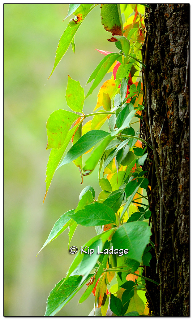 Virginia Creeper on Tree - Image 340564