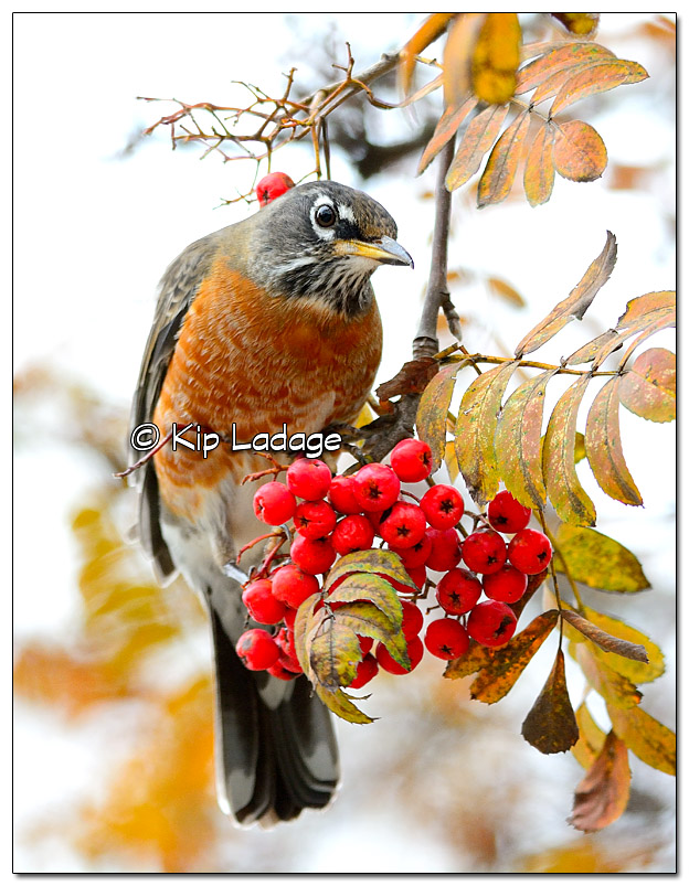 American Robin with Berry - image 344831