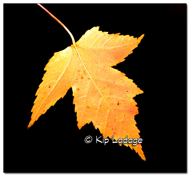 Autumn Leaf in Rain - Image 344170