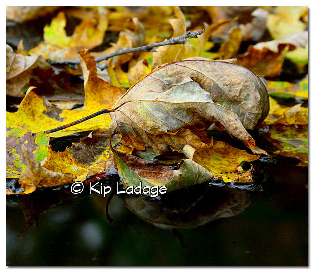 Autumn Leaves on Water - Image 342221