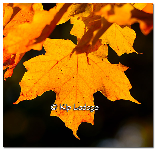 Autumn Maple Leaf at Sunset - Image 342388