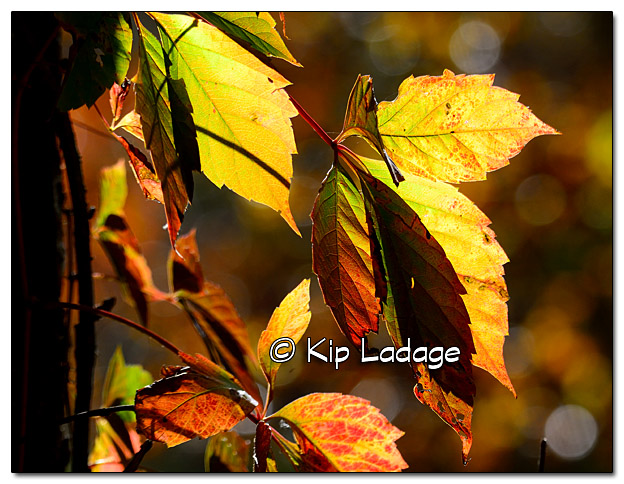 Backlit Virginia Creeper - Image 342108