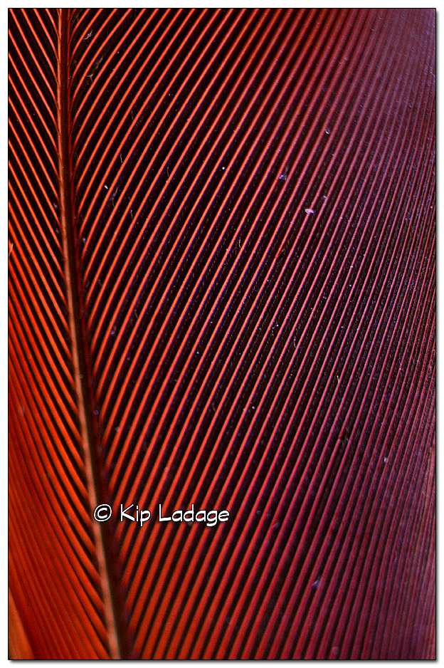 Close-up of Cardinal Feather - Image 341448