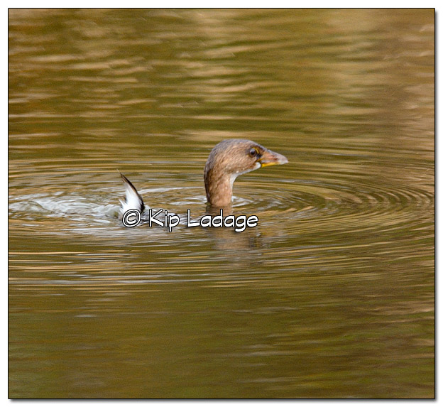 Pied-billed Grebe at Sweet Marsh - Image 345049