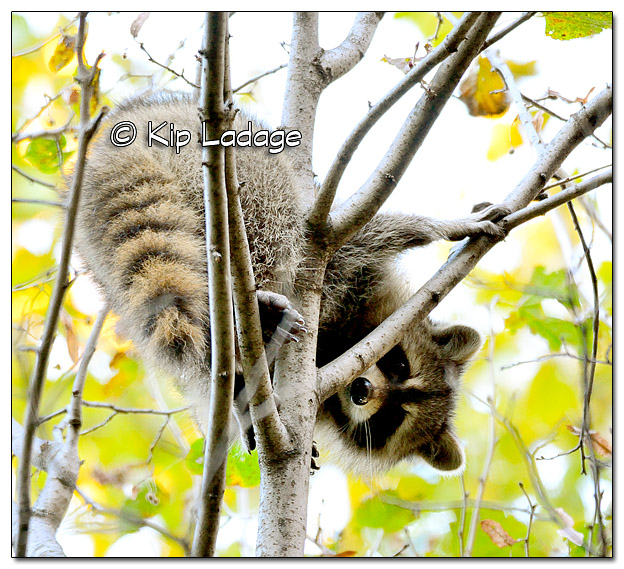 Raccoon in Tree at Ingawanis Woodlands - Image 342784