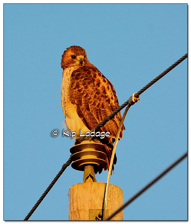 Red-tailed Hawk on Power Pole at Sunrise - Image 342306