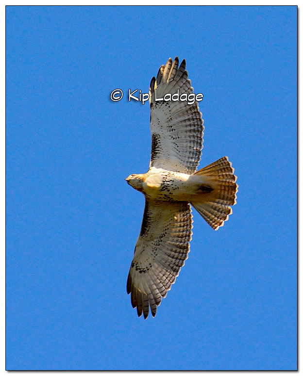 Red-tailed Hawk in Flight - Image 341026