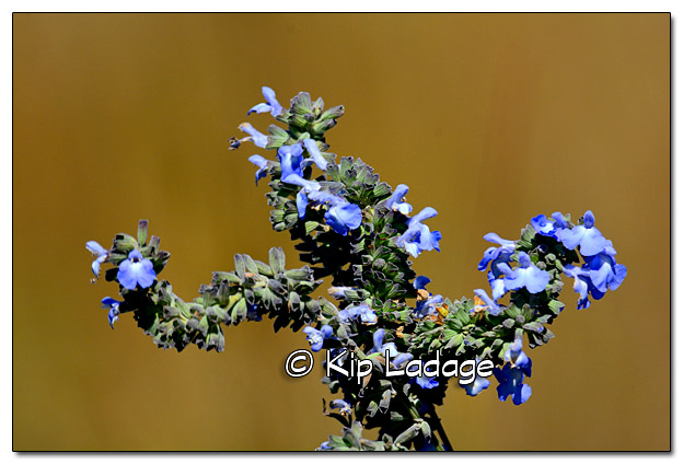 Unknown Blue Wildflower - Image 341156