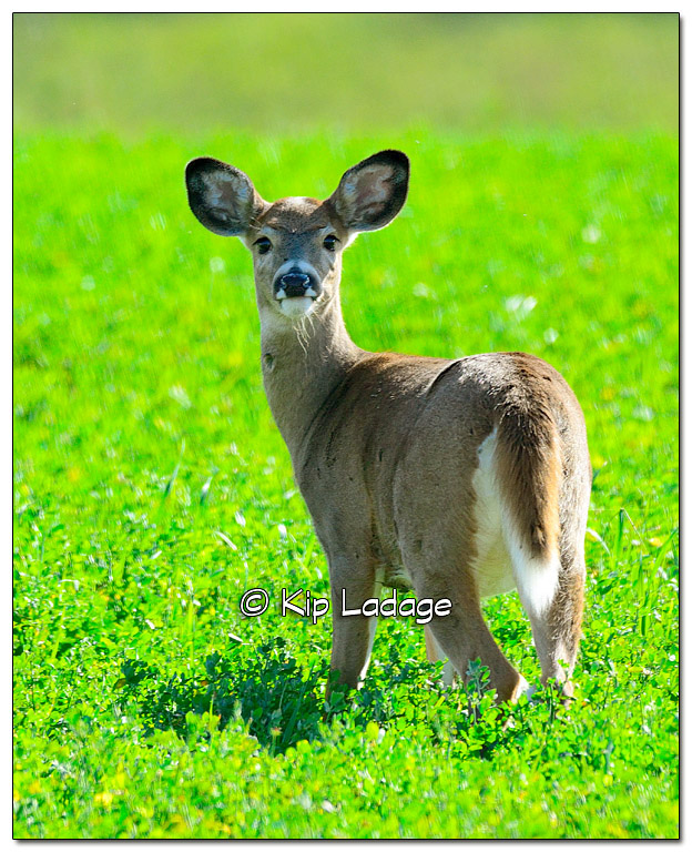 Whitetail Deer Feeding in a Field - Image 341337