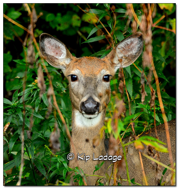 Whitetail Doe in Brush - Image 341415