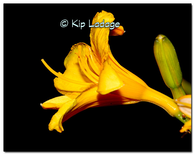 Yellow Lily - Image 344056