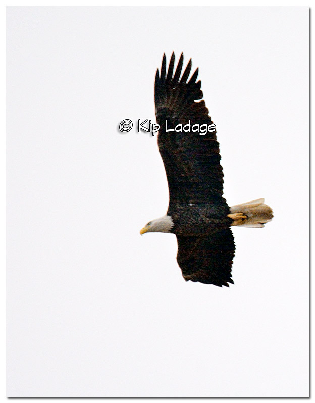 Bald Eagle in Flight - Image 345728