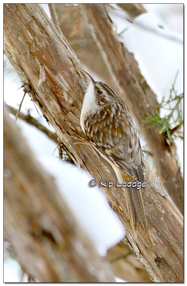 Brown Creeper at George Wyth State Park - Image 346727