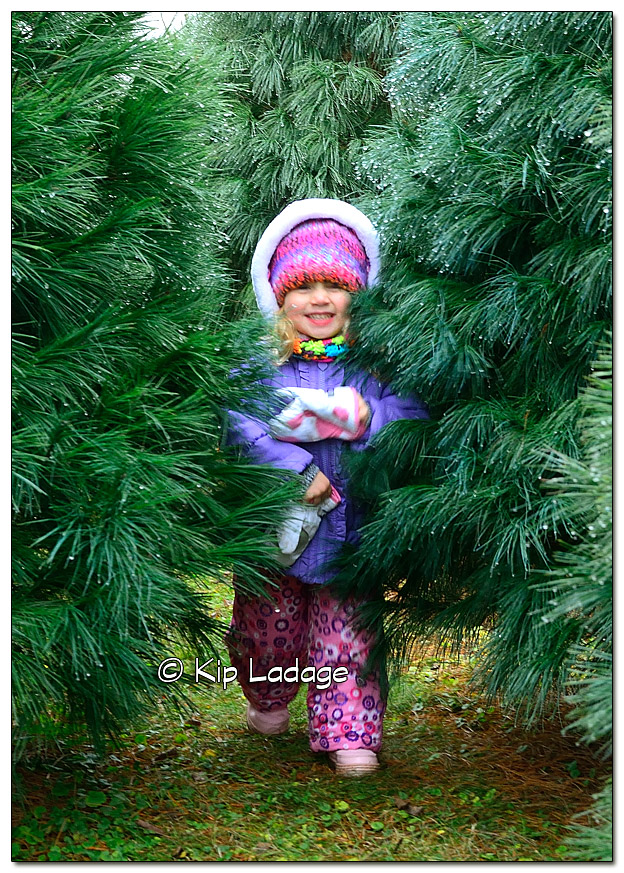 Searching for the 2015 Christmas Tree - Image 346925