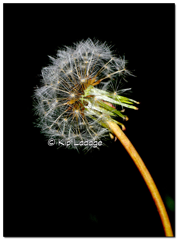 Dandelion Gone to Seed - Image 345302