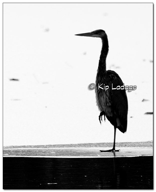 Great Blue Heron on Ice (mono) - Image 347020