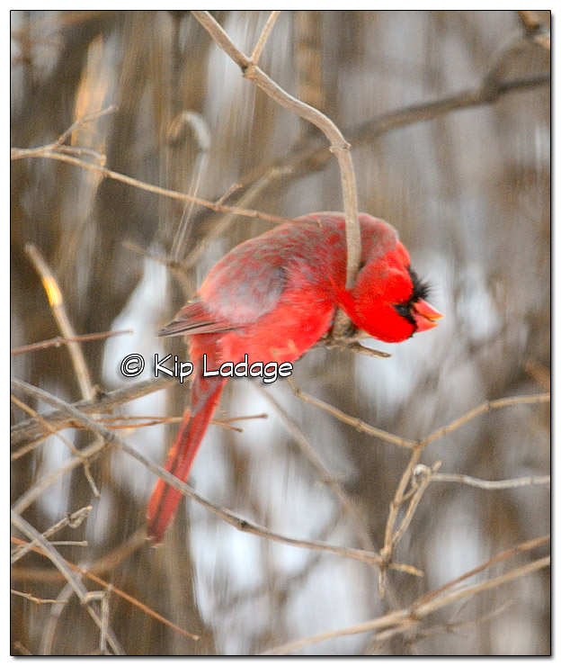 Male Northern Cardinal Biting a Branch - Image 346517