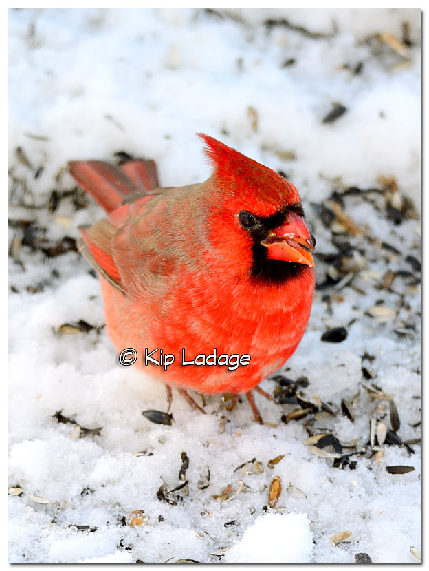 Male Northern Cardinal Eating Seeds - image 346751