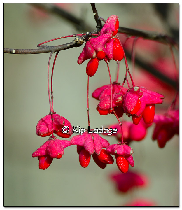 Spindle Berry Bush - Image 345227