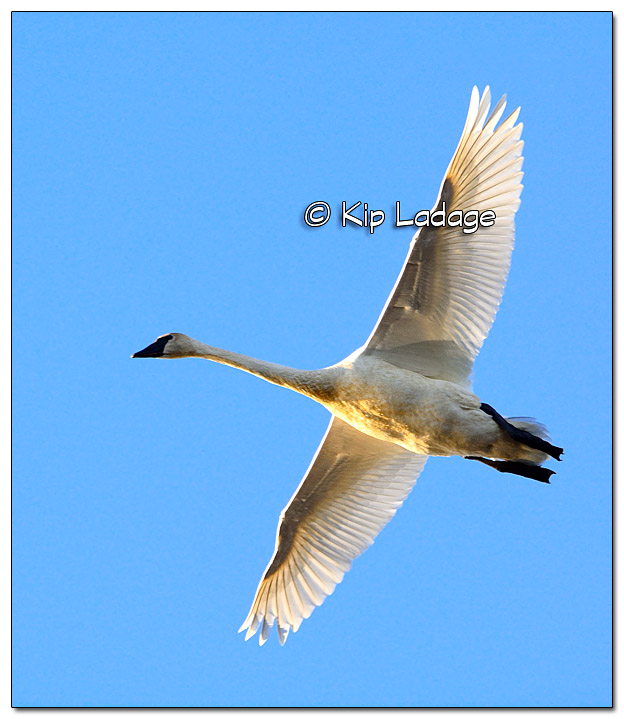 Trumpeter Swan Over Indian Pond - Wapsipinicon River - Image 345529