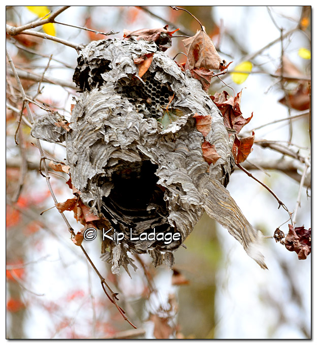 Wasp Nest in Tree - image 346390