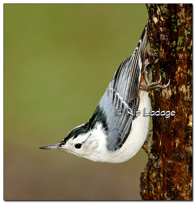 White-breasted Nuthatch in Rain - Image 346875