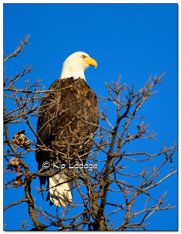 Bald Eagle in Treetop - Image 348880