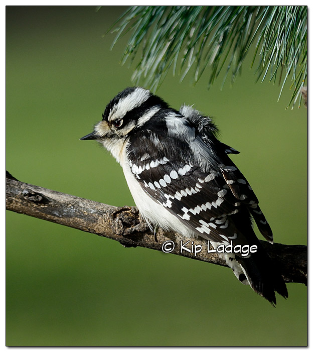Female Downy Woodpecker - Image 349361