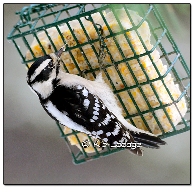 Female Downy Woodpecker on Suet - image 347377