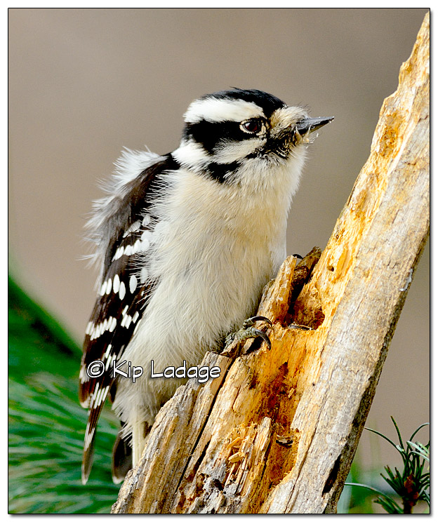 Female Downy Woodpecker - Image 348843