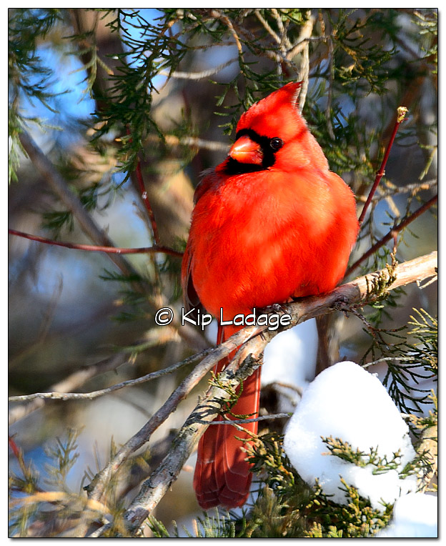 Male Northern Cardinal in Snowy Tree - Image 349754