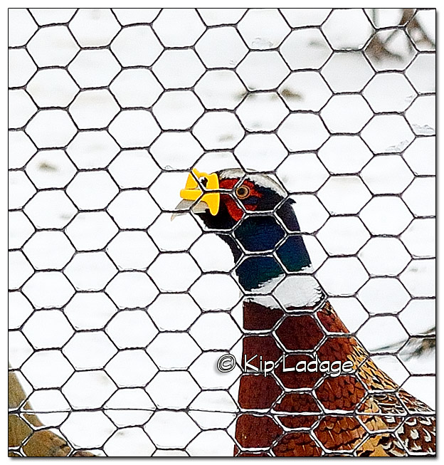 Pen-raised Pheasant With Blinder/Peeper - Image 349327 (close)