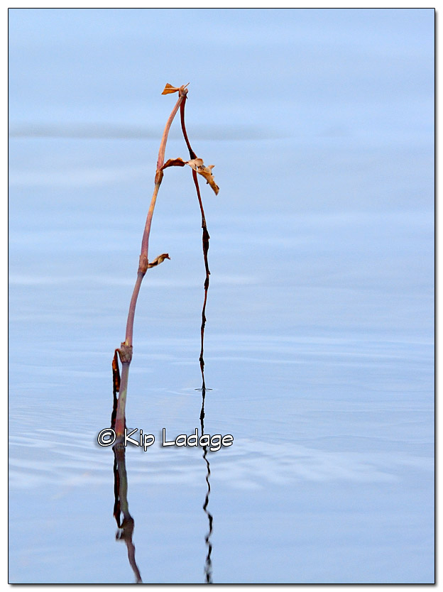 Plant in Open Water in December in Iowa - Image 347809