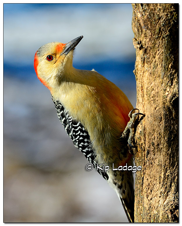 Red-bellied Woodpecker - Image 347448