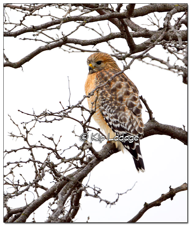 Red-shouldered Hawk at George Wyth State Park - Image 347747