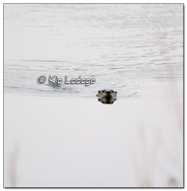 River Otter at George Wyth State Park - Image 348189