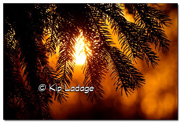 Setting Sun Through Pine Tree - Image 347755