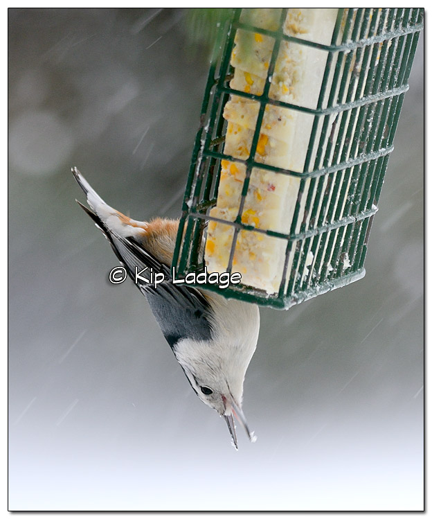 White-breasted Nuthatch at Suet Feeder - Image 349458