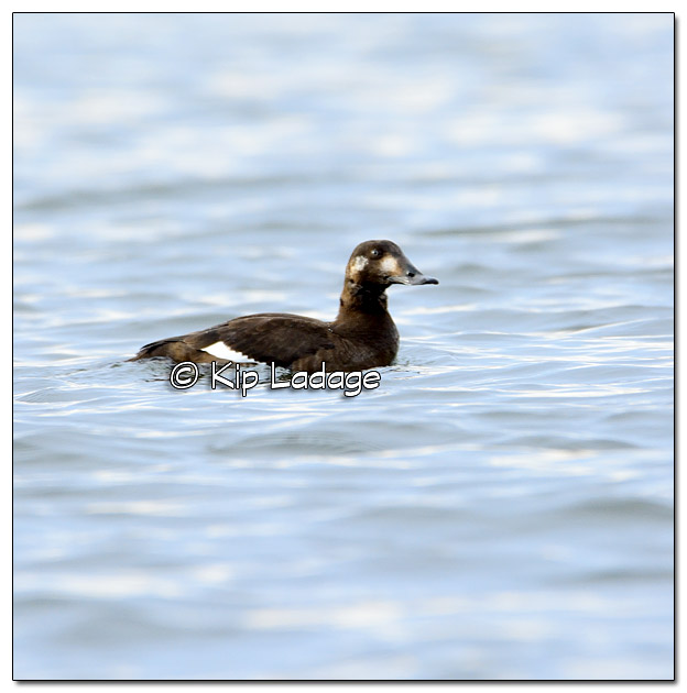 White-winged Scoter at George Wyth State Park - Image 348091
