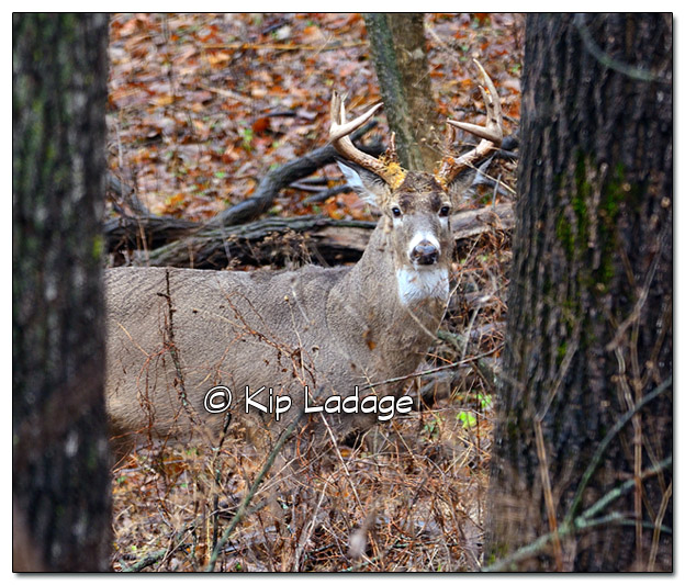 Whitetail Buck After Mating - Image 348520