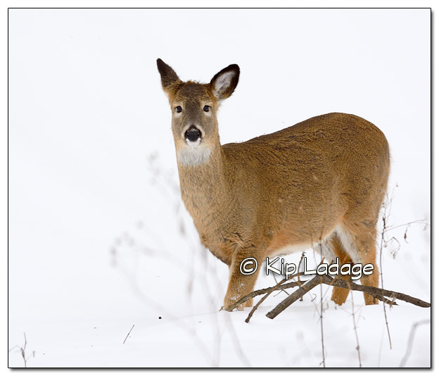 Whitetail Doe in Snow - Image 349489